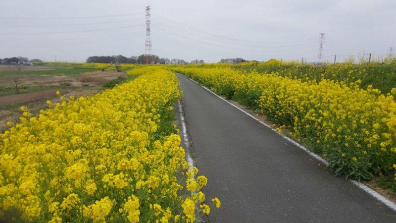 荒川サイクリングロードの菜の花畑